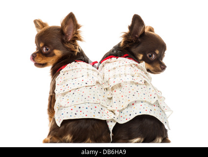 Rear view of two dressed up Chihuahuas against white background - Stock Photo