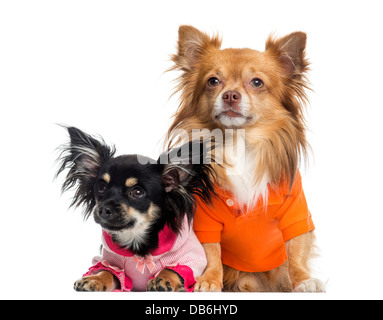 Two dressed Chihuahuas against white background - Stock Photo