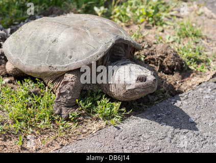Female Snapping Turtle side view. Large turtle laying eggs at the side of a road. Ottawa, Ontario, Canada - Stock Photo
