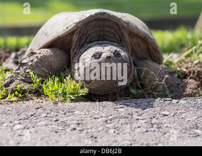 Female Snapping Turtle at road. Large turtle laying eggs at the side of a road. Ottawa, Ontario, Canada - Stock Photo