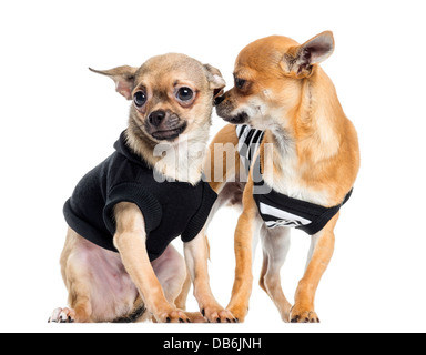 Two dressed up Chihuahuas against white background - Stock Photo