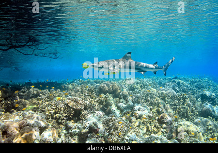 Blacktip Reef Shark, Carcharhinus melanopterus, swimming over shallow coral reef with five pilotfish - Stock Photo