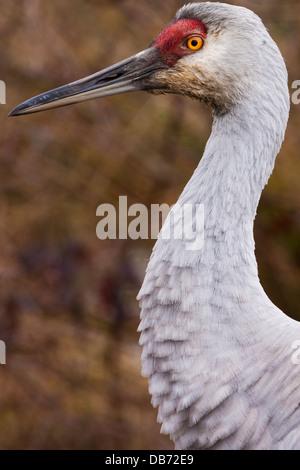 Sandhill crane, George C. Reifel Migratory Bird Sanctuary, British Columbia, Canada. - Stock Photo
