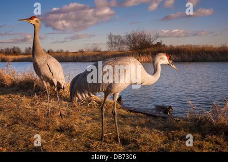 Sandhill cranes, George C. Reifel Migratory Bird Sanctuary, British Columbia, Canada. - Stock Photo