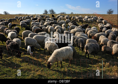 Flock of sheep in a pen on a pasture in the morning light - Stock Photo