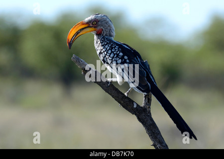 Southern Yellow-billed Hornbill (Tockus leucomelas) - Stock Photo