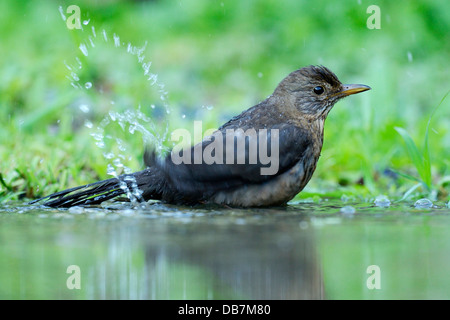 Young Blackbird (Turdus merula) bathing in a puddle - Stock Photo