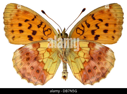 Marbled Fritillary (Brenthis daphne) seen from below isolated on white background - Stock Photo