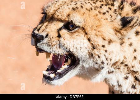 Snarling cheetah (Acinonyx jubatus) - Stock Photo