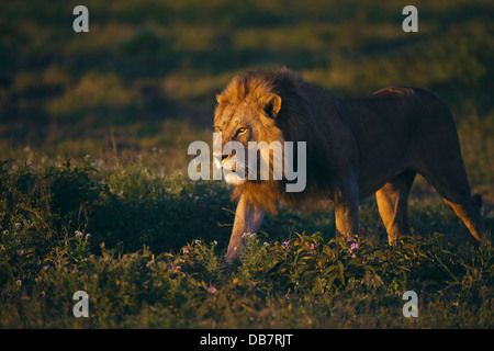 Lion (Panthera leo), male, in the morning light - Stock Photo