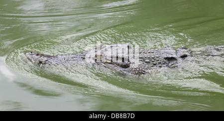 Estuarine Crocodile (Saltwater Crocodile), Crocodylus porosus, Sarawak, Malaysia - Stock Photo
