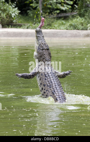 Estuarine Crocodile (Saltwater Crocodile), Crocodylus porosus, Sarawak, feeding at a crocodile farm, Malaysia - Stock Photo