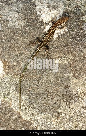 Iberian Wall Lizard (Podarcis hispanica) - Stock Photo