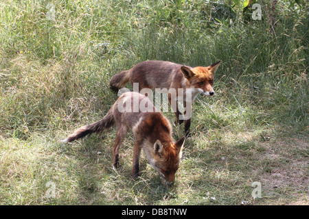 Close-up of mother and son European red fox  (Vulpes Vulpes) hunting - Stock Photo
