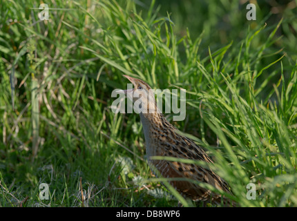 Corncrake calling at Balranald North Uist Outer Hebrides - Stock Photo