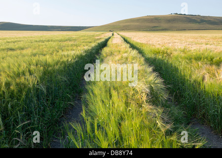 Wheat growing in Farm Field - Stock Photo