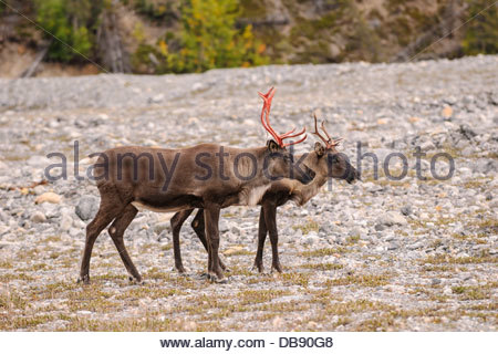 Male and female woodland caribou (Rangifer tarandus caribou) near Mucho Lake in northern British Columbia, Canada - Stock Photo