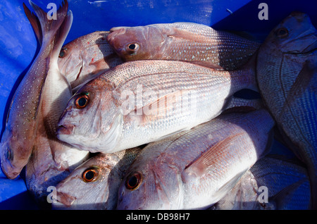 Fresh Snapper fish in a blue box with ice on fishing boat. - Stock Photo