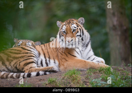 Siberian tiger (Panthera tigris altaica), also known as the Amur tiger - Stock Photo