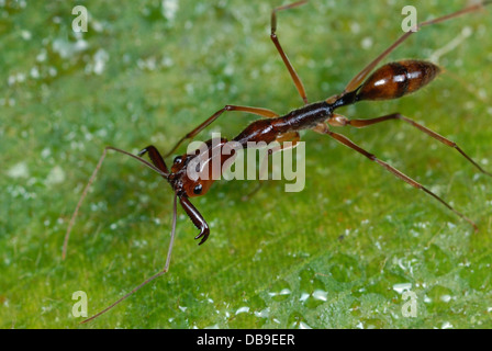 Trap-jaw Ant (Odontomachus sp.) in Costa Rica rainforest - Stock Photo