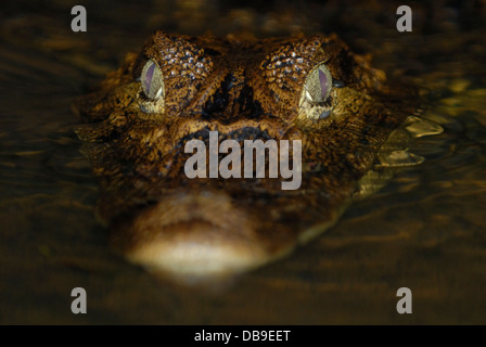Spectacled Caiman (Caiman crocodilus) in Tortuguero National Park, Costa Rica. - Stock Photo
