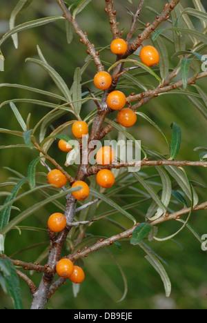 Sea Buckthorn berries (Hippophae rhamnoides) Stock Photo
