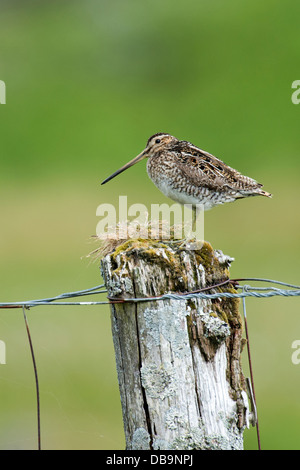 Common Snipe (Gallinago gallinago), UK - Stock Photo