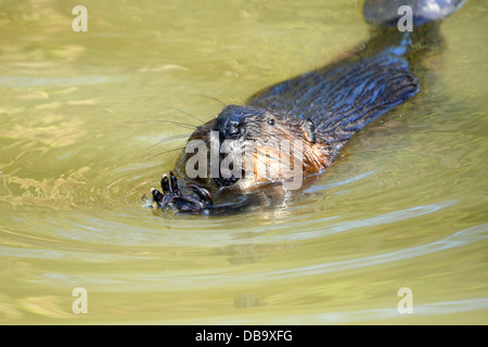 North American Beaver (Castor canadensis) swimming - Stock Photo