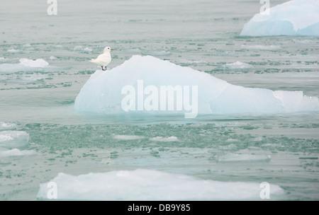 An Ivory Gull (Pagophila eburnea) on an iceberg in northern Svalbard in the high Arctic. - Stock Photo