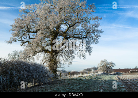 Oak trees and hedgerow coated in hoar frost beside a grass track and field edge near East Haddon in Northamptonshire, - Stock Photo