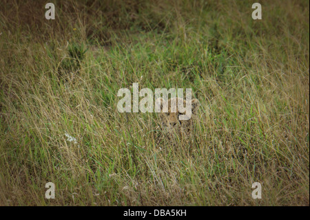 Baby Cheetah (Acinonyx jubatus) hiding in the tall grass. Phinda Game Reserve, South Africa