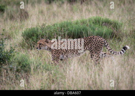 Cheetah (Acinonyx jubatus), Phinda Game Reserve, South Africa - Stock Photo