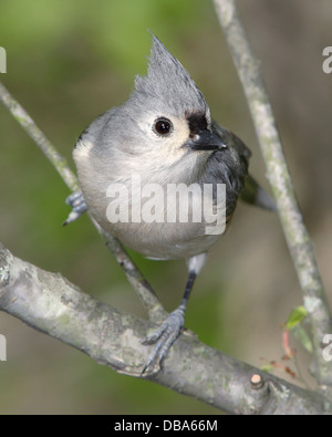 A Cute Little Bird, The Tufted Titmouse, Parus bicolor, Striking A Curious - Stock Photo