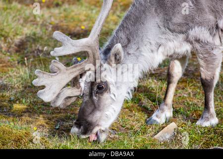 A male Svalbard Reindeer (Rangifer tarandus) moulting in summer with his antlers still in velvet in Longyearbyen, - Stock Photo