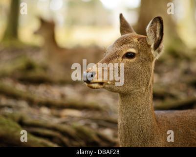 Nara deer roam free in Nara Park, Japan. - Stock Photo