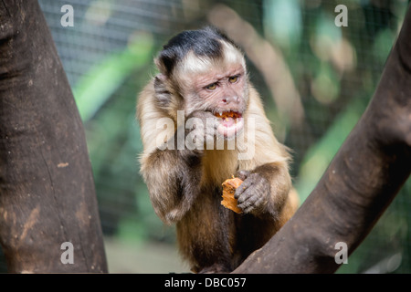 A close-up of the expressive face of a capuchin monkey eating - Stock Photo