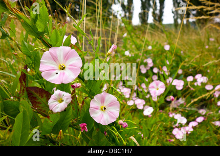 Field Bindweed convolvulus arvensis - Stock Photo