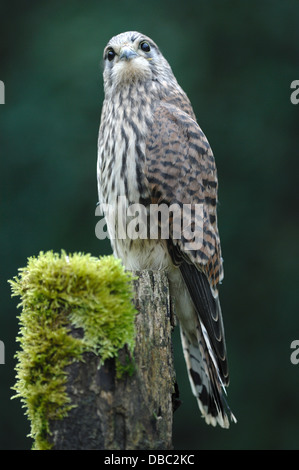 A kestrel on a mossy fence post UK - Stock Photo