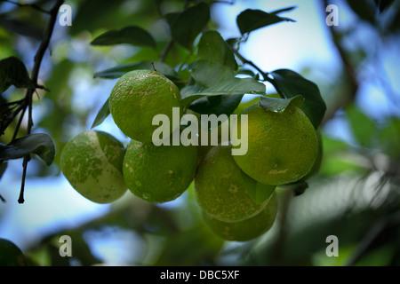 Green lemons growing on lemon tree in an organic fruit plantation - Aitutaki island, Cook Islands - Stock Photo