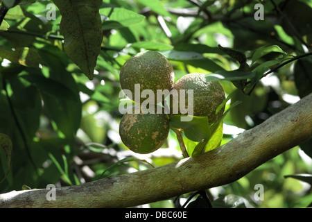Three green lemons growing on lemon tree in an organic fruit plantation in Aitutaki Island, Cook Islands - Stock Photo