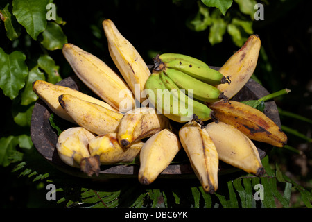 Different types of bananas in wooden bowl displayed in a organic fruit market in Aitutaki island, Cook island - Stock Photo