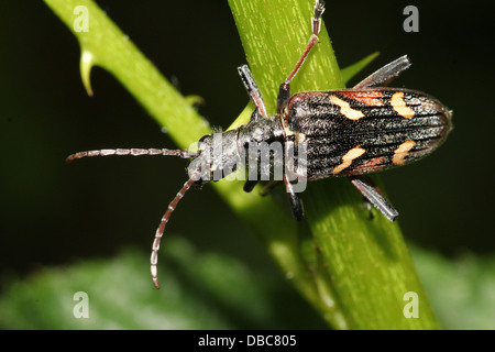 Very detailed Two-banded longhorn beetle (Rhagium bifasciatum) close-ups in various poses (10 images) - Stock Photo
