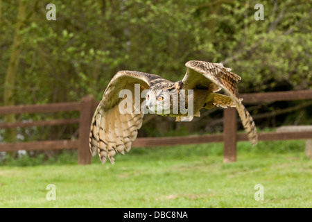A Long Eared Owl in flight (Asio Otus) Stock Photo
