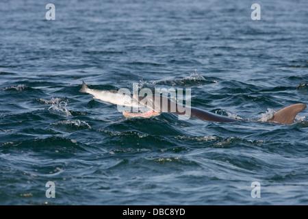 Bottlenose dolphin (Tursiops truncatus) catching a fish (salmon , Salmo salar), Moray Firth, Highlands, Scotland - Stock Photo