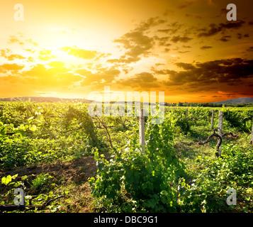 Green vinyard at the sunrise in Crimea - Stock Photo