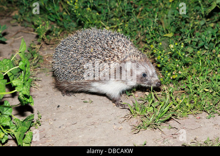 Erinaceus europaeus, western European Hedgehog. Denisovo, Ryazan region, Pronsky area. Russia - Stock Photo