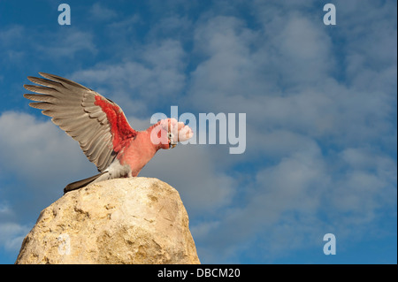 Galahs on the tip of a sandstone pillar of the Pinnacles Desert in the heart of the Nambung National Park, Western - Stock Photo
