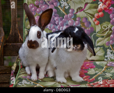 Chocolate English Spot and Dwarf Lop Eared Rabbits - Stock Photo