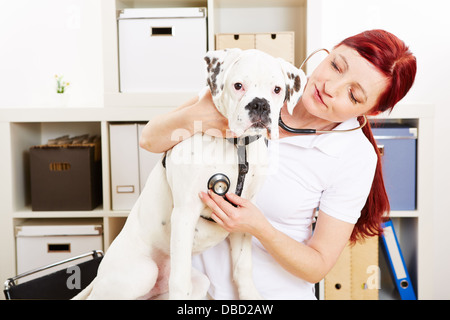 Veterinarian auscultating boxer dog with stethoscope in animal clinic - Stock Photo