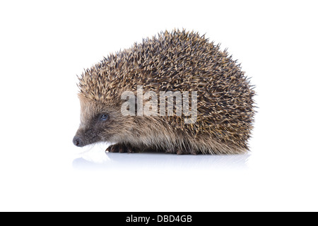Concept of security a cute hedgehog isolated on white background - Stock Photo